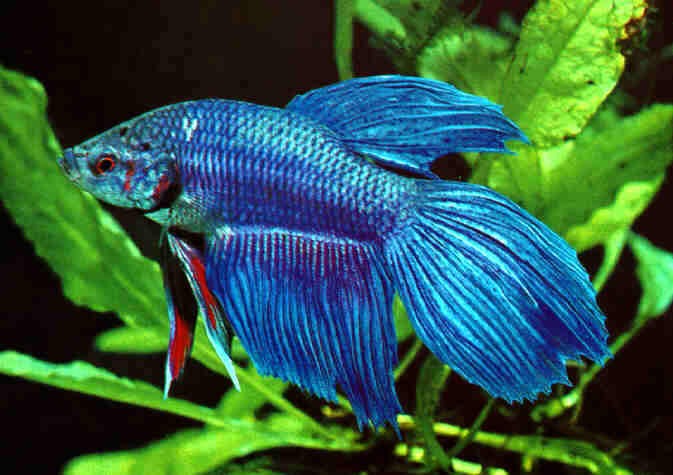 Pez betta macho cuidados esenciales for Tipos de peces ornamentales